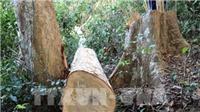 Điều tra, xử lý vụ khai thác rừng trái phép và cướp tang vật giữa rừng phòng hộ Sêrêpốk