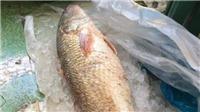 Ngư dân Quảng Ngãi 'săn' được cá sủ vàng quý hiếm