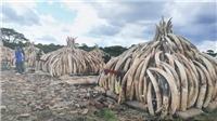 Bốn quốc gia khu vực Nam châu Phi kêu gọi dỡ bỏ lệnh cấm buôn bán ngà voi