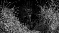 VIDEO: Phát hiện loài báo đen hiếm gặp trong 100 năm ở châu Phi