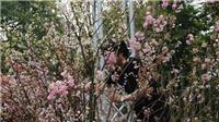 100 cây anh đào được nghệ nhân Nhật Bản sắp đặt ở phố đi bộ Hà Nội