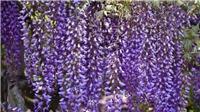 Ngắm hoa Tử Đằng đẹp lộng lẫy tại công viên 'trong mơ' ở Nhật Bản
