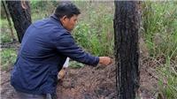 Khẩn trương điều tra làm rõ vụ hàng ngàn cây thông ở Lâm Đồng bị hạ độc
