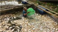 VIDEO: Gần 1.000 tấn cá trên sông La Ngà chết hàng loạt