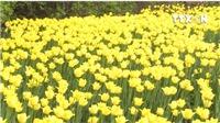 VIDEO: Lễ hội hoa Tulip lớn nhất thế giới