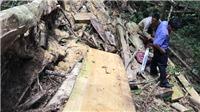 Tạm giữ đối tượng khai thác trái phép cây bạch tùng cổ thụ ở Lâm Đồng