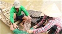 Mưu sinh mùa lũ muộn: Khó khăn khi con nước về ít