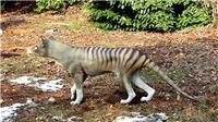 VIDEO: Hổ Tasmania quý hiếm xuất hiện trở lại?