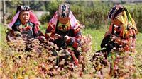 Lễ hội hoa tam giác mạch từ 15 đến 16/11: Sắc hồng cao nguyên đá