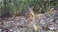 Sự xuất hiện trở lại của Cheo cheo lưng bạc: Hy vọng cho những nỗ lực bảo tồn báu vật thiên nhiên