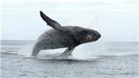 Canada: Người đầu tiên bị phạt vì đến gần cá voi