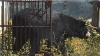 Ra mắt phim ngắn lên án hoạt động nuôi nhốt gấu lấy mật