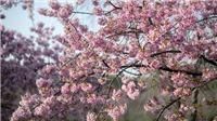 Hàn Quốc hủy lễ hội hoa anh đào hồ Seokchon