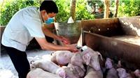 16 tỉnh, thành phố còn dịch tả lợn châu Phi