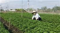 Hà Nội sẽ mở rộng thêm từ 3.000 - 4.000 ha sản xuất rau an toàn