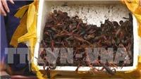Lạng Sơn: Bắt giữ gần 50kg tôm hùm đất nhập lậu