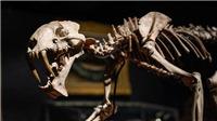 Đấu giá bộ xương hổ răng kiếm hóa thạch gần 40 triệu năm tuổi