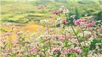 Lễ hội hoa Tam giác mạch 2020: Sắc hoa cao nguyên đá