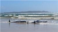 Hơn 90 cá voi chết trong vụ mắc cạn ngoài khơi Australia và còn tăng