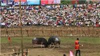 Lễ hội chọi trâu Hải Lựu 2019: nhiều 'ông trâu' không chịu thi đấu