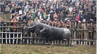 Lễ hội chọi trâu Hải Lựu (Vĩnh Phúc):  Không đổi mới sẽ tạm ngừng tổ chức!