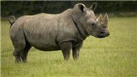 Sóng thần tại Indonesia: Báo động nguy cơ loài tê giác một sừng bị 'xóa sổ'
