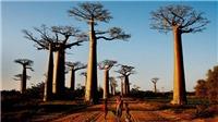 Cây baobap biểu tượng của châu Phi chết hàng loạt