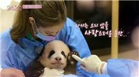 Blackpink bị điều tra vì gây hại cho gấu trúc panda