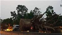 Bộ GTVT nói gì về xe chở cây 'quái thú' nghênh ngang Quốc lộ 1
