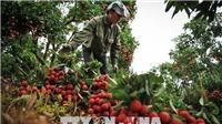 Kết thúc vụ vải thiều, nông dân Bắc Giang thu về hơn 5.700 tỷ đồng