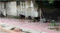 Khẩn trương chấn chỉnh tình trạng nuôi chó thả rông không đúng quy định