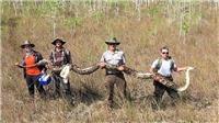 Bắt giữ con trăn khổng lồ dài 5,2 mét