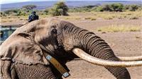 Big Tim, một trong những con voi ngà dài cuối cùng của châu Phi qua đời