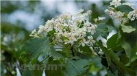 Mê mẩn ngắm hoa trẩu trắng tinh khôi vùng Tây Bắc đang nở rộ
