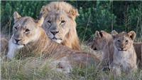 Đi săn trộm tê giác bất ngờ bị đàn sư tử cắn xé đến chết