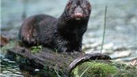 Mỹ xác nhận ca nhiễm Covid-19 đầu tiên ở động vật hoang dã