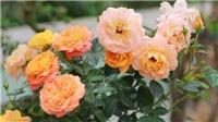 Ngắm hàng ngàn cây hoa hồng Bulgaria khoe sắc giữa Hà Nội đúng ngày 8/3