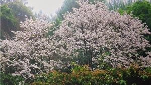 Chùm ảnh du lịch: Điện Biên ngập tràn sắc trắng mùa hoa ban
