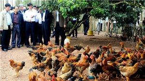 Bắc Giang thực hiện một loạt giải pháp nâng chất lượng gà đồi Yên Thế