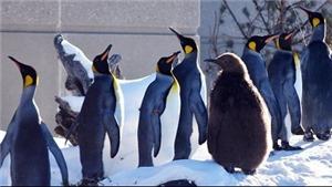 Lạnh kỷ lục, chim cánh cụt cũng cần vào nhà sưởi ấm