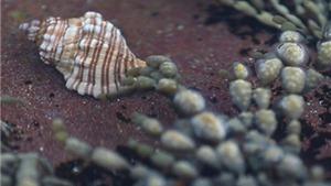 Hy vọng tìm ra thuốc chữa ung thư từ trứng loài sên biển