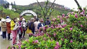 Hoa đỗ quyên khoe sắc trên đỉnh Fansipan