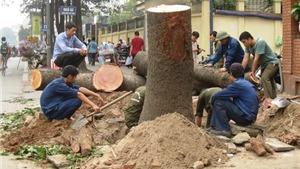 Hà Nội đình chỉ nhiều cán bộ liên quan vụ 'cải tạo thay thế cây xanh'