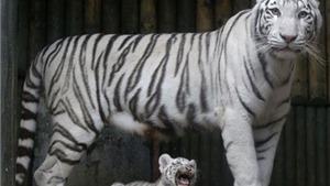 Lần đầu nhân giống được hổ Bengal trắng: Chú hổ con bị mẹ 'bỏ rơi' phát triển tốt