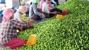 Bác bỏ tin táo Ninh Thuận chỉ 1.000/kg