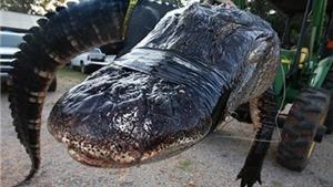 Ăn trộm không thành, còn bị cá sấu 'cướp' mạng sống