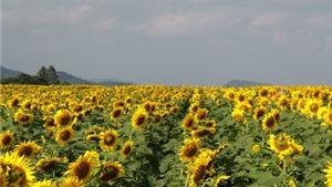 Về xứ Nghệ mùa hoa mặt trời