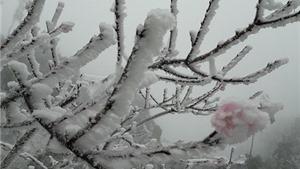 Lo mất mùa đào Tết vì băng giá