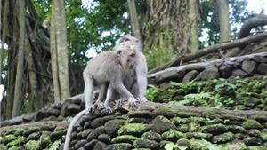 'Rừng khỉ thiêng' ở Bali