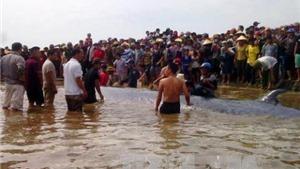 Cá voi 15 tấn còn sống dạt vào bờ biển Nghệ An